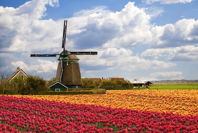 Мельница у тюльпанового поля