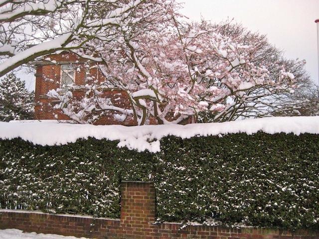 цветущие деревья в снегу