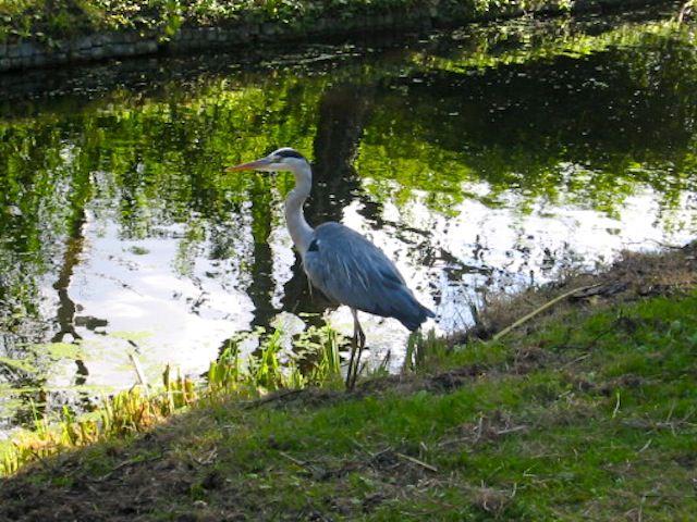 цапля в парке Клиндендайл