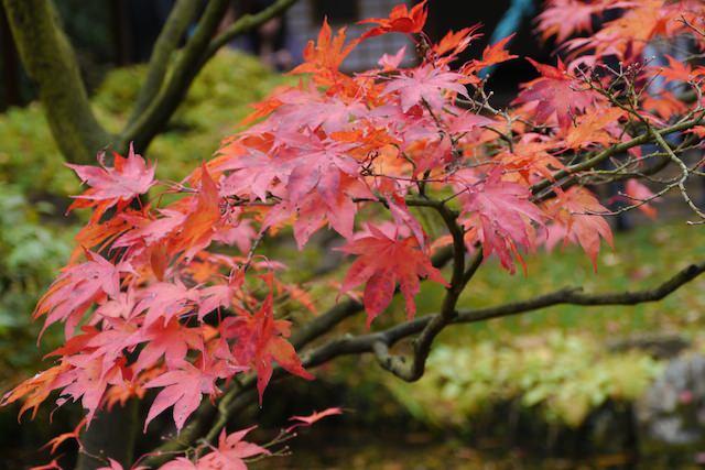 японский клен в японском саду