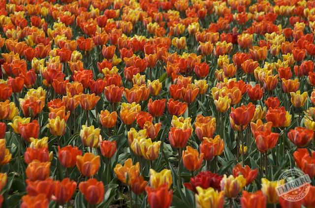 тюльпаны в парке Кёкенхоф, Keukenhof