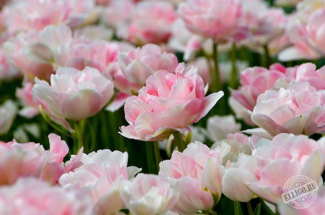 тюльпаны, парк Кёкенхоф, Keukenhof