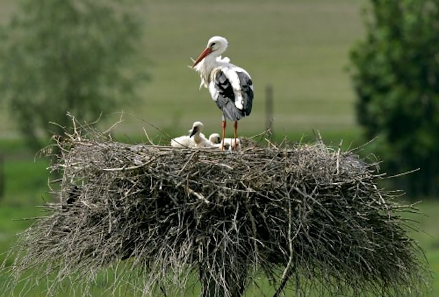 белый аист в гнезде
