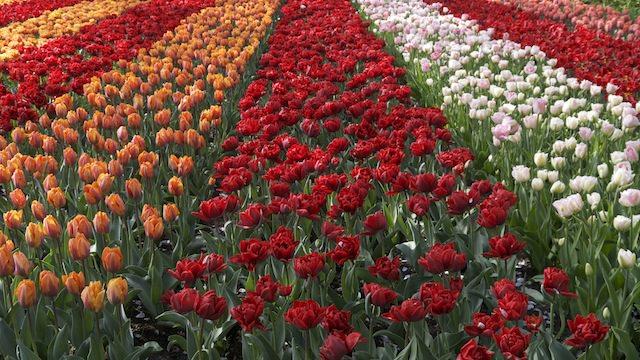 цветущие поля тюльпанов