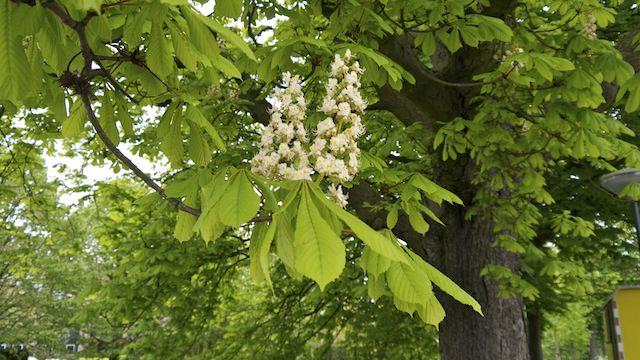 цветущий каштан в Клиндендайл
