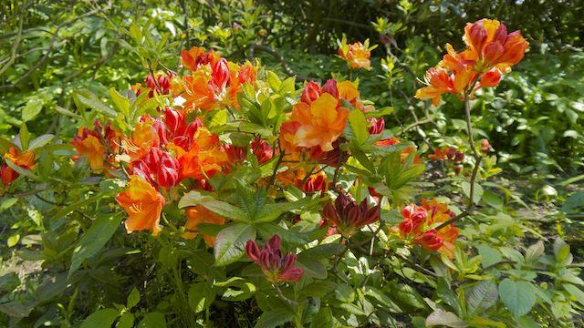 оранжевые рододендроны в Звездном лесу
