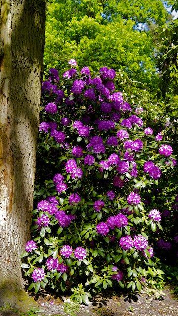 розовые рододендроны в Звездном лесу