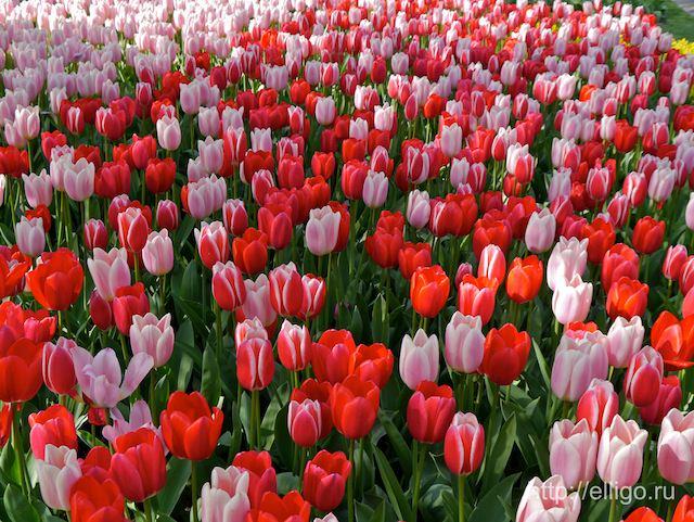 Красные и розовые тюльпаны.jpg
