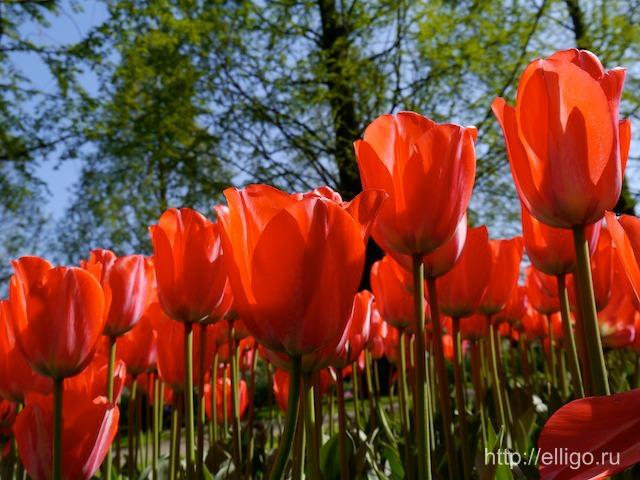 Красные тюльпаны .jpg