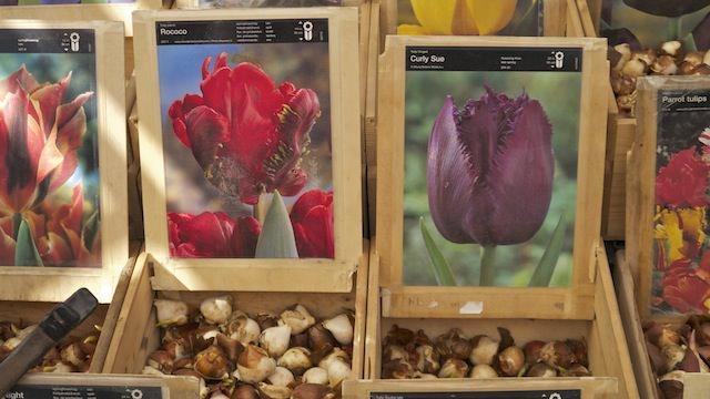 Люковицы тюльпанов2