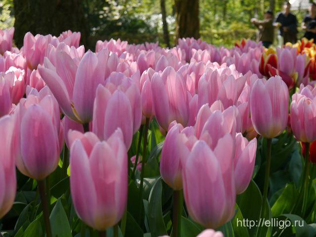 Розовые тюльпаны.jpg