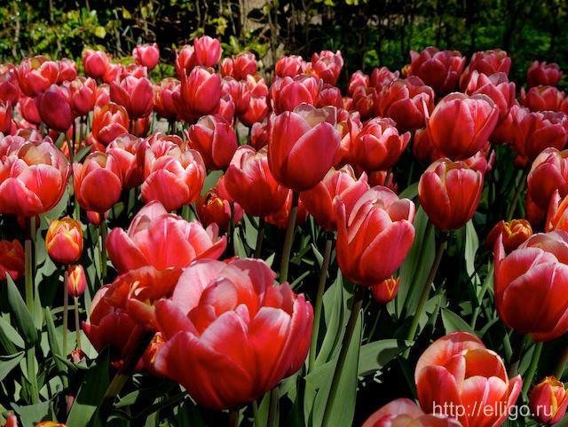 Тюльпаны в Кекенхоф2.jpg
