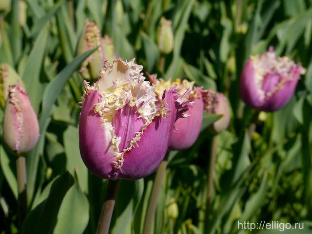 Тюльпаны в Кекенхоф3.jpg
