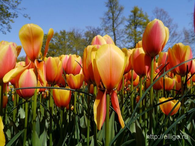 Тюльпаны в Кекенхоф4.jpg
