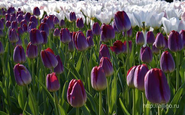 Тюльпаны55.jpg