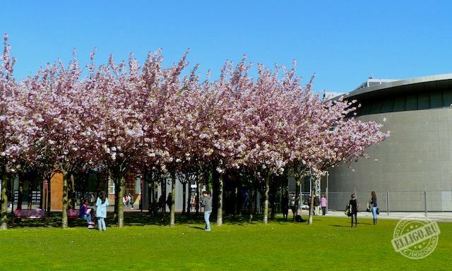 Цветущая сакура, Музей Ван Гога, Амстердам