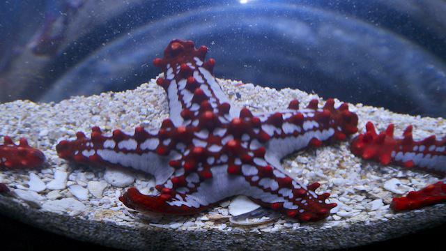 Красноконечная морская звезда