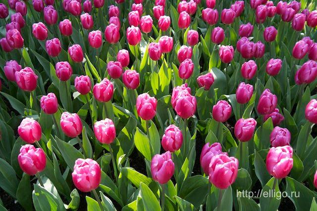 тюльпаны 12.jpg