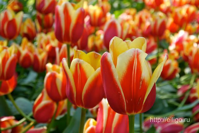 тюльпаны 14.jpg