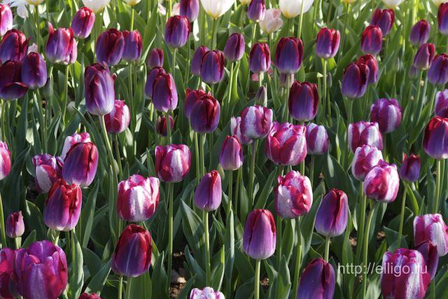 тюльпаны15.jpg