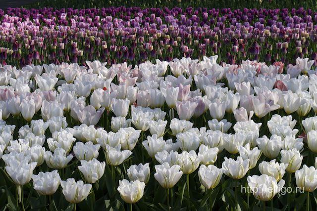 тюльпаны17.jpg