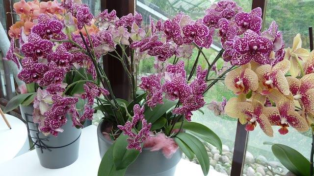 орхидеи в Кёкенхоф