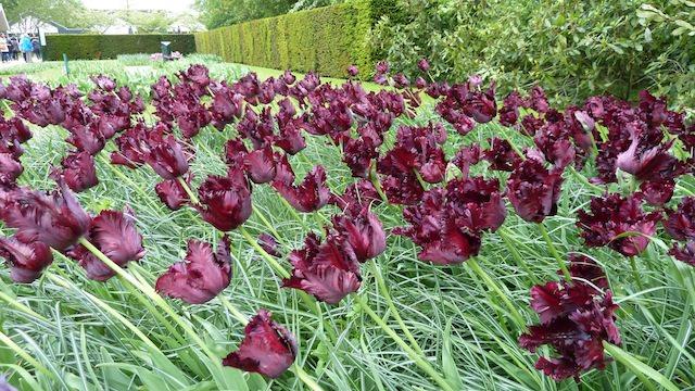 тюльпаны в Кёкенхоф
