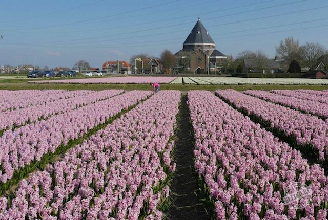 flowers-fields-holland