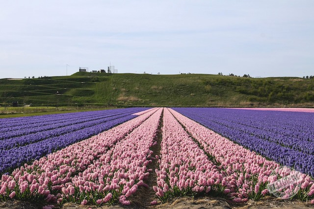 fields-of-tulips