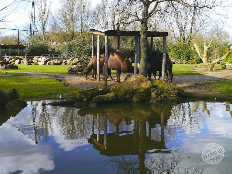 camels-zoo-blijdorp-elligo