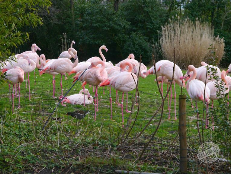 flamingo-blijdorp-zoo-elligo