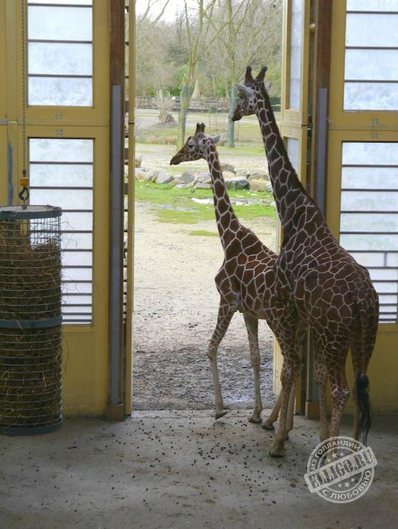 giraffes-elligo