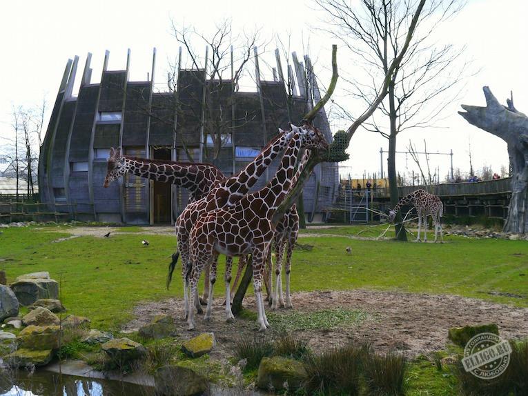 giraffes-zoo-rotterdam-elligo