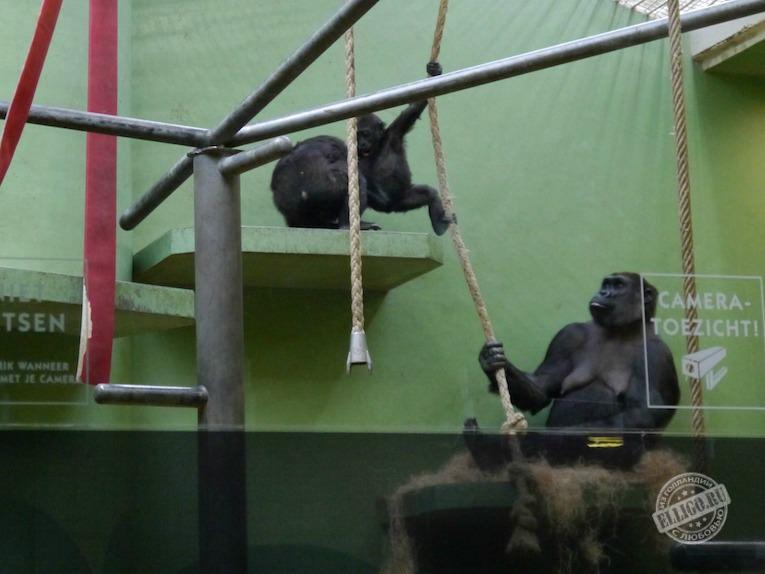 gorrila-rotterdam-zoo-elligo