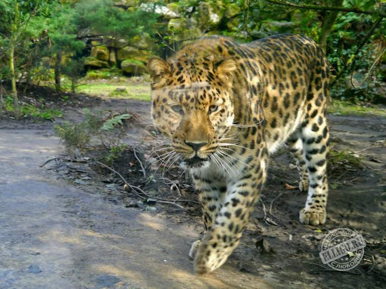leopard-zoo-rotterdam-blijdorp-elligo
