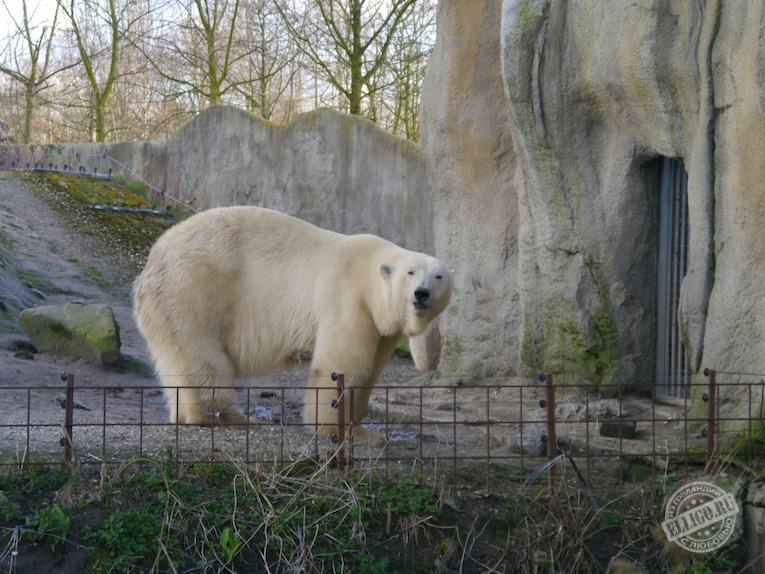 polar_bear_zoo_rotterdam-elligo