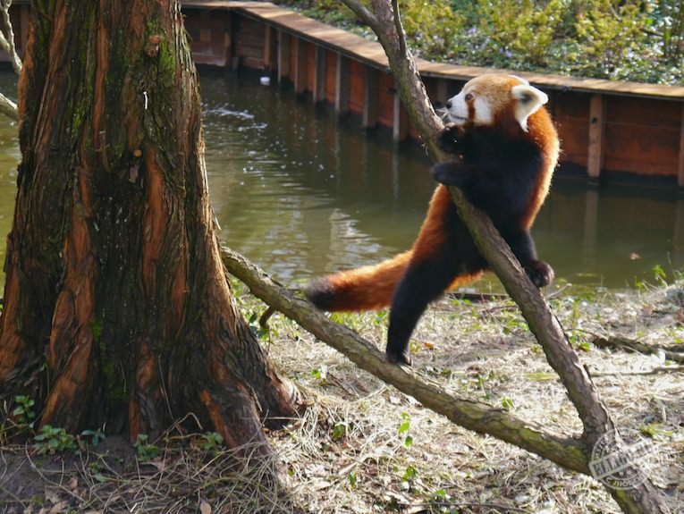 red_panda_zoo_rotterdam-elligo