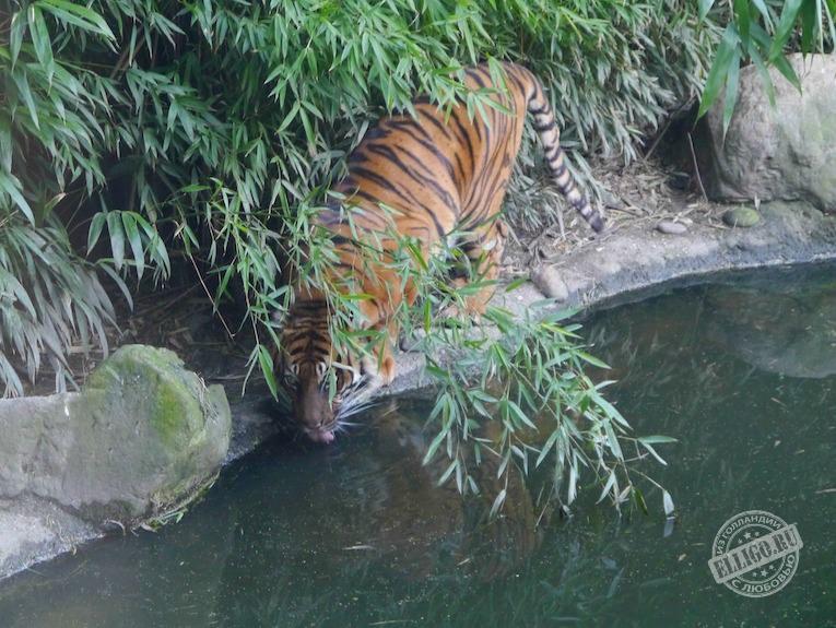 tiger-zoo-rotterdam-elligo